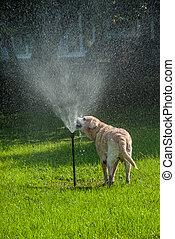 lycklig, hund, play-7