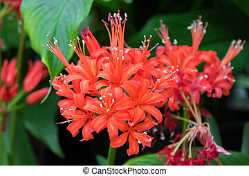 lycoris, radiata, fleur, (red, lis araignée, rouges, magie,...