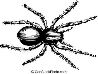 lycosa, fatifera, loup, ou, araignés