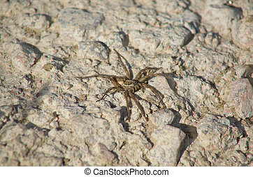 Lycosa spider or european wolf spider high magnification macro over white stony area
