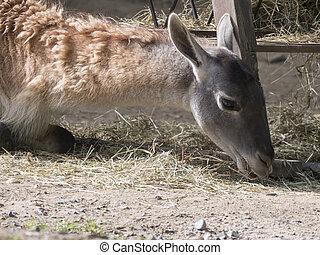 lying and eating Guanaco Lama Guanaco Lama guanicoe head ...