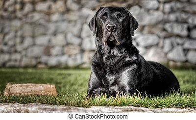 Lying black labrador in the garden