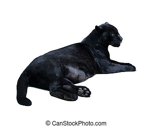 lying black leopard. Isolated  over white