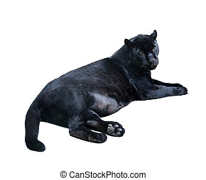 lying black panthera. Isolated  over white
