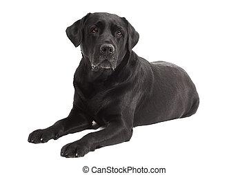 Retriever Labrador dog of a black shade lying in studio isolated