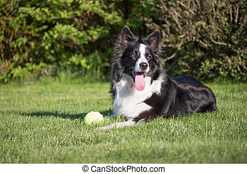 Lying Border collie with a yellow ball
