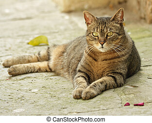 lying cat on stone alley in Tuscany - can on street in...