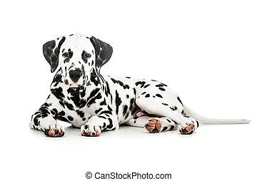 Lying Dalmatian dog isolated on white