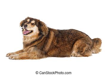 Lying dog on a white background