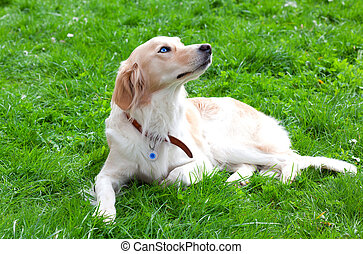 Lying dog on the grass