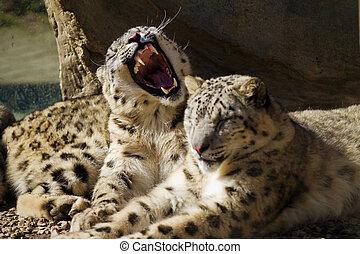 Lying family of Snow Leopard Irbis (Panthera uncia)