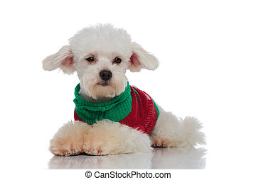 lying furry bichon with colorful sweater looks to side on...