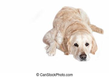 Lying Golden Retriever Dog on the white