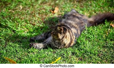 Lying Maine Coon cat playing on the grass