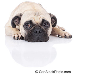 lying pug - pug lying on white background