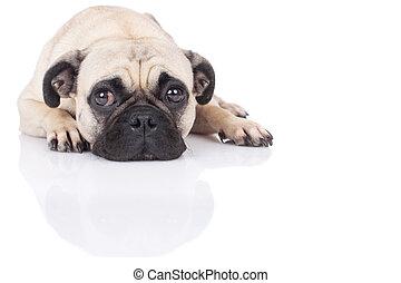 lying pug - pug lying on white background