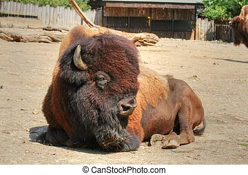 lying strong ungulate animal (American bison) with thick fur around the head