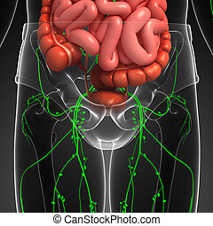 Lymphatic and digestive system of human body artwork - ...