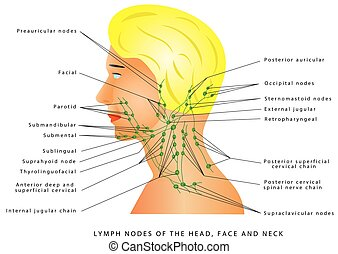 Lymphatic drainage. Lymph nodes of the head, face and neck. ...