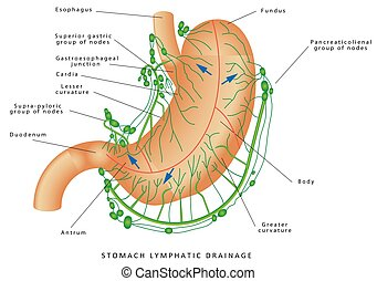 Lymphatic drainage of the stomach