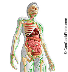 Lymphatic, skeletal and digestive system of Male body ...