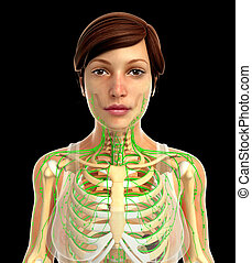 lymphatic systeem, vrouwlijk