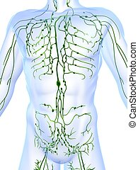 lymphatic system - 3d rendered illustration of a human body...