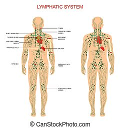 lymphatic system, - human anatomy, lymphatic system, medical...