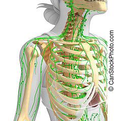 Lymphatic system of Female skeleton artwork - Illustration ...