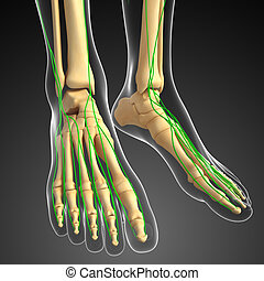 Lymphatic system of human foot skeleton artwork - ...