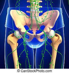 Lymphatic system of human pelvic girdle skeleton artwork - ...