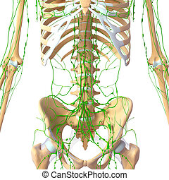 Lymphatic system of human pelvis - 3d rendered illustration...