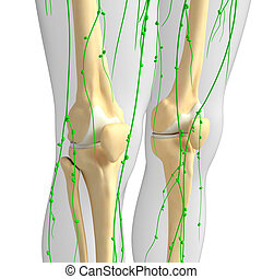 Lymphatic system of Knee skeleton artwork - Illustration of ...