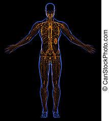 Lymphatic System - Human lymphatic system
