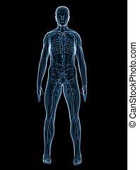 lymphatic system - 3d rendered illustration of a transparent...