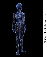 lymphatic system - 3d rendered illustration of a...