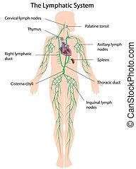 lymphatisch, etikettiert, eps10, system