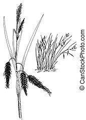 Sedge - Carex - Lyngbyaes Sedge - Carex lyngbyaei