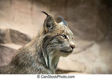 A beautiful profile of a lynx cat.