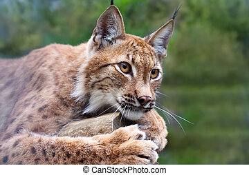 lynx against wildness area - Lynx lying on the background of...