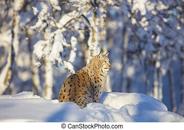 Lynx cat resting in the winter sun at sunset