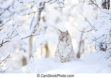 Lynx cub in the cold winter forest