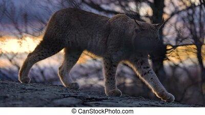 lynx eurasien, soir, promenades, beau, lumière, montagne