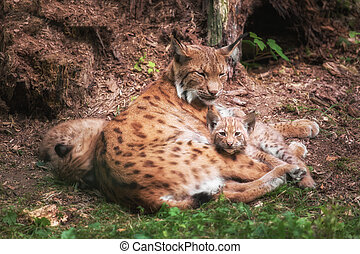 Lynx family lies in the grass
