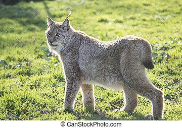 Lynx - Image of a lynx walking on a grass.