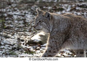 Lynx in a deer park in wintertime