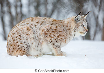 Lynx in a norwegian forest - A european lynx in the snow....