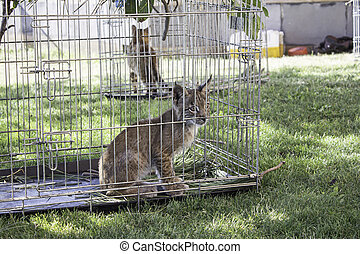 Lynx  in cage