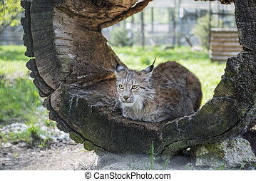 Lynx in green forest with tree trunk. Wildlife scene from nature. Sunny summer day.