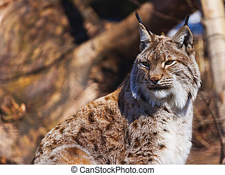 Lynx in park - Lynx - zoo in Innsbruck Austria - animal...